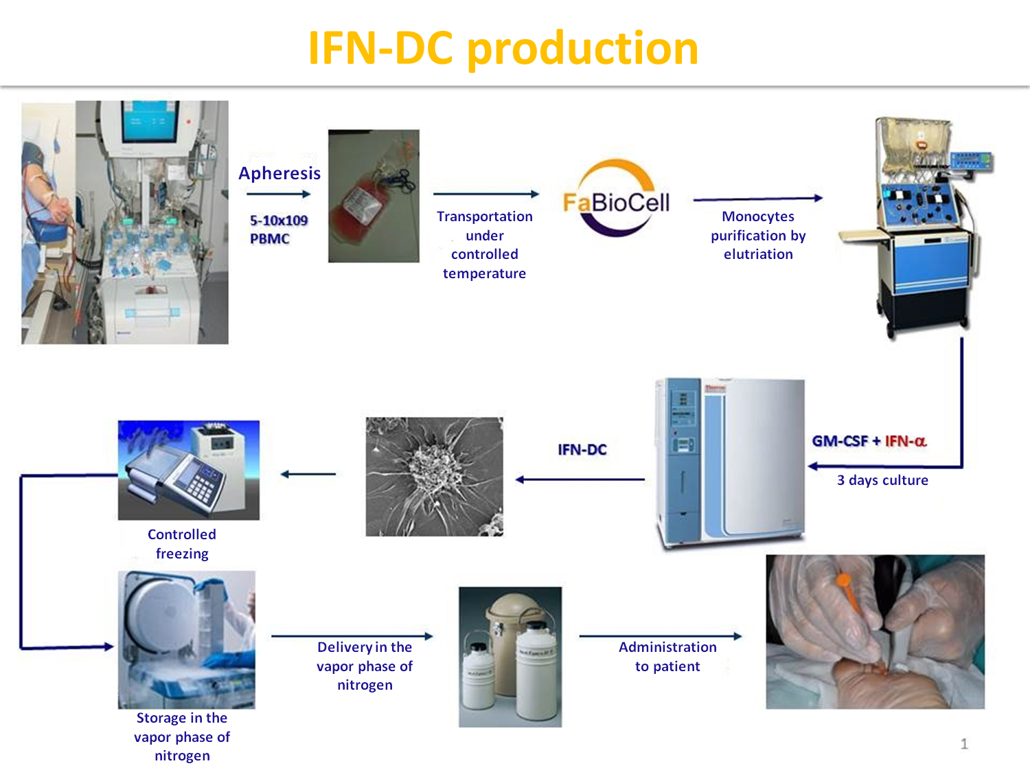 IFN-DC production
